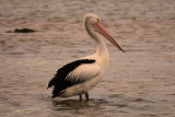 Pelican at days end