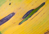 Aged Banana Leaf