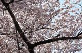 Cherry Blossoms - 1