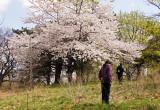 Cherry Blossoms - 3