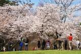 Cherry Blossoms - 4