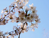 Cherry Blossoms - 5