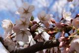 Cherry Blossom - 6