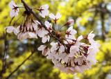 Cherry Blossoms - 7