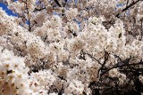 Cherry Blossoms - 8