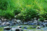 Buttercups and Stream