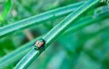 Japnese Beetle