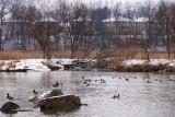 Ducks On Highland Creek I