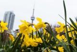 City's Daffodils
