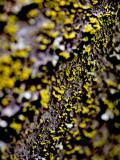 Lichen on Japanese Maple