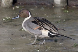 Pijlstaart / Northern Pintail