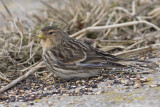 Frater / Twite