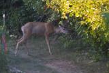 Avon 56  5218 Deer come thru the property on a regular basis