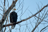 American Bald Eagle...in my backyard!   5693