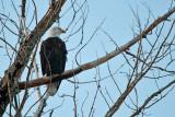 American Bald Eagle  5694