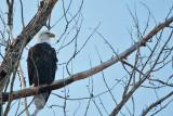 American Bald Eagle  5695
