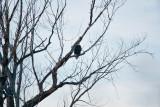 eagle 1  5686