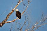 5773 Adult  Bald Eagle