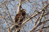 5783 Juvenile Bald eagle