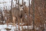 deer 1  5930 Spike Horn