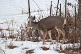 deer 2  5931.jpg