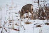 deer 3  5932.jpg