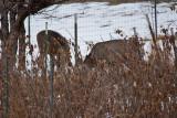 deer 5  5934.jpg