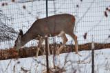 deer 6  5937.jpg
