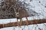 deer 7  5938.jpg