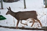 deer 9  5942.jpg