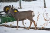 deer 10  5943.jpg