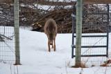 deer 11  5944.jpg