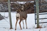 deer 14  5948.jpg