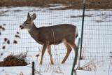 deer 15  5949.jpg