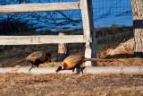 6168 pheasants