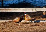 6174 pheasants