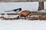 Pheasant 6204