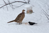 Hen pheasant  6358