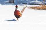 pheasant   6365