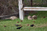 6451 Hen Pheasants