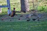 6477 Rooster and Hen Pheasants