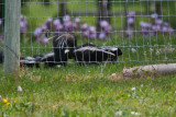 6849   skunk