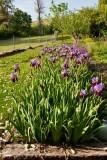 6810  Iris
