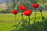 6875  poppy