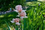 6952  pink iris