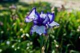 6955  blue iris