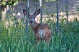 6987 deer