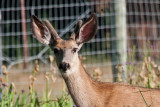 6996 deer
