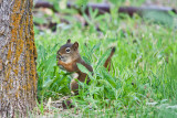 7251  Red squirrel
