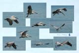 Pelican-3-95dpi.jpg